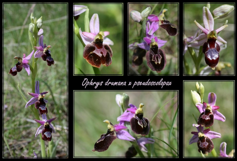 Ophrys bertolonii saratoi ( O. drumana ) x pseudoscolopax 3511
