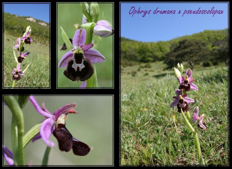 Ophrys bertolonii saratoi ( O. drumana ) x pseudoscolopax 3611