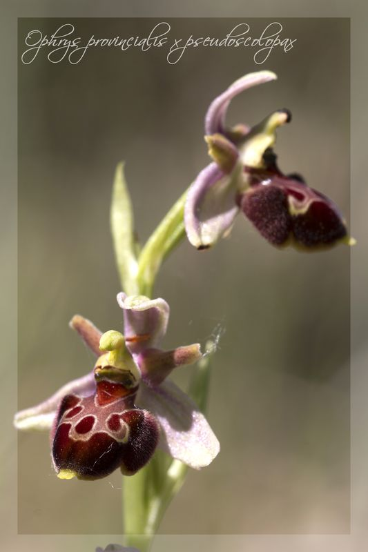 Ophrys provincialis x pseudoscolopax  3710