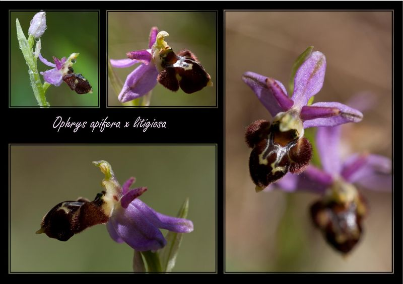 Ophrys apifera x litigiosa ( araneola ) 3910