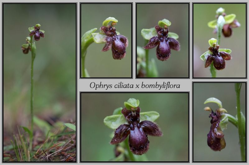 Ophrys bombyliflora x speculum 3911