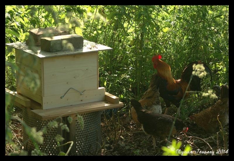 Les poules, une arme efficace pour lutter contre le frelon asiatique  _igp9610