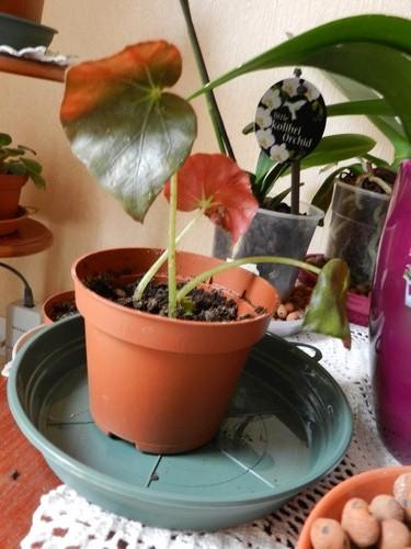 Begonia 'erythrophylla'  fait la tête!!!! Dscn0610
