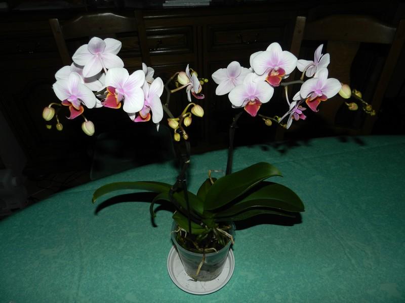 phalaenopsis hybride Dscn4819