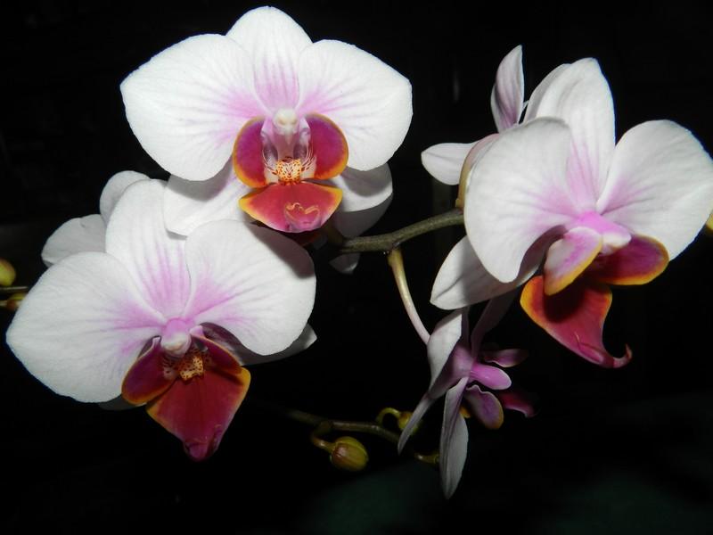 phalaenopsis hybride Dscn4820