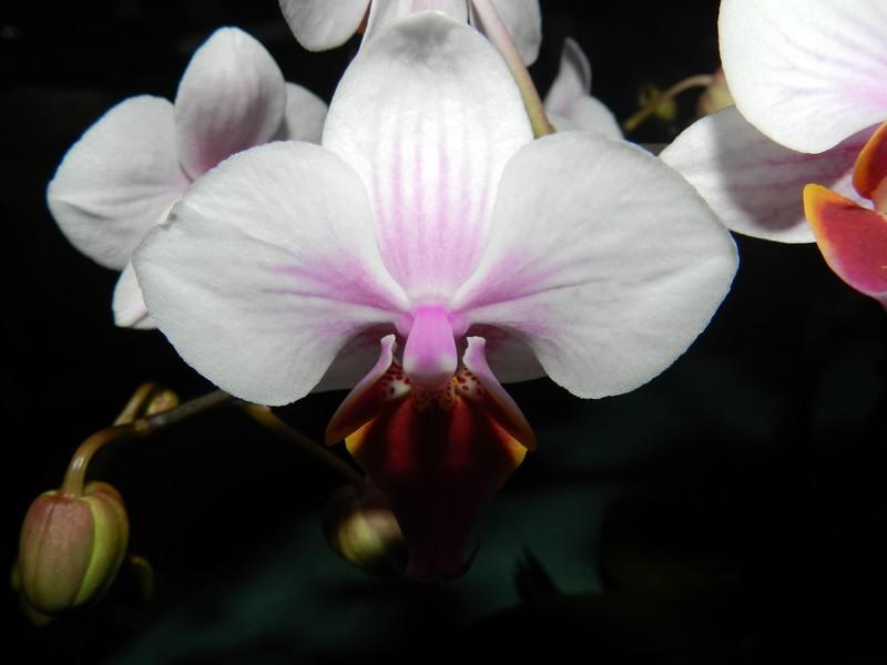 phalaenopsis hybride Dscn4821