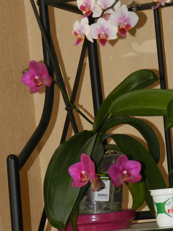 Floraison maison de phalaenopsis hybride Dscn4916
