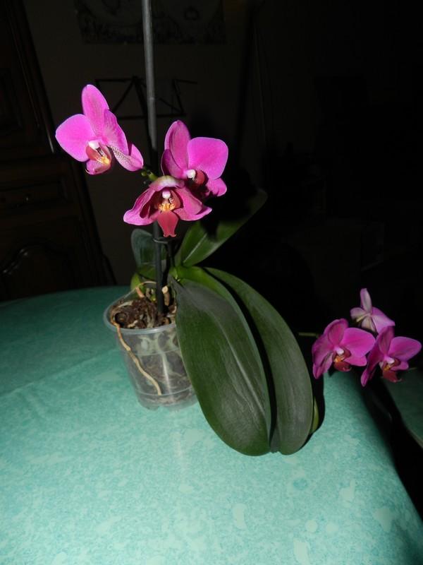 Floraison maison de phalaenopsis hybride Dscn5013