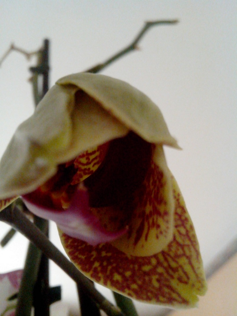 Evolution de phalaenopsis Img_2010