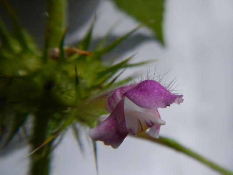 Galéopsis tétrahit / Galeopsis tetrahit Dscn1516