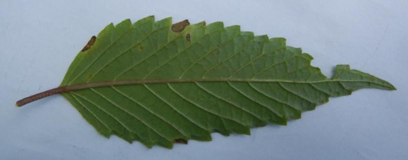 Galéopsis tétrahit / Galeopsis tetrahit Dscn1518