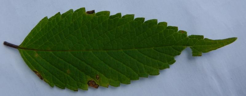 Galéopsis tétrahit / Galeopsis tetrahit Dscn1519