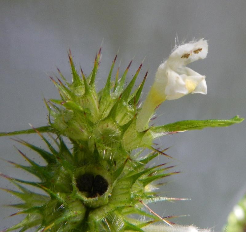 Galéopsis tétrahit / Galeopsis tetrahit Dscn1520
