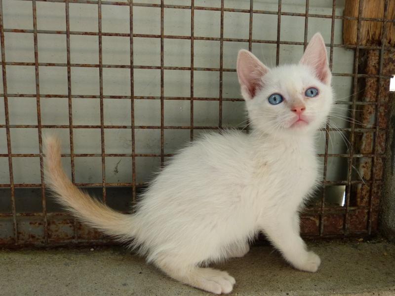 Photos des chats sauvés, avant/après - Page 6 Siam_p13