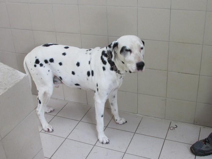ARRIVEE en FOURRIERE d'un dalmatien le 26/08/14 04214
