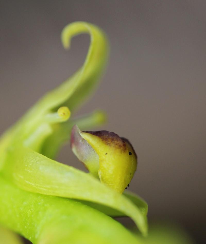 Spécial Bulbophyllum du mois 020_210