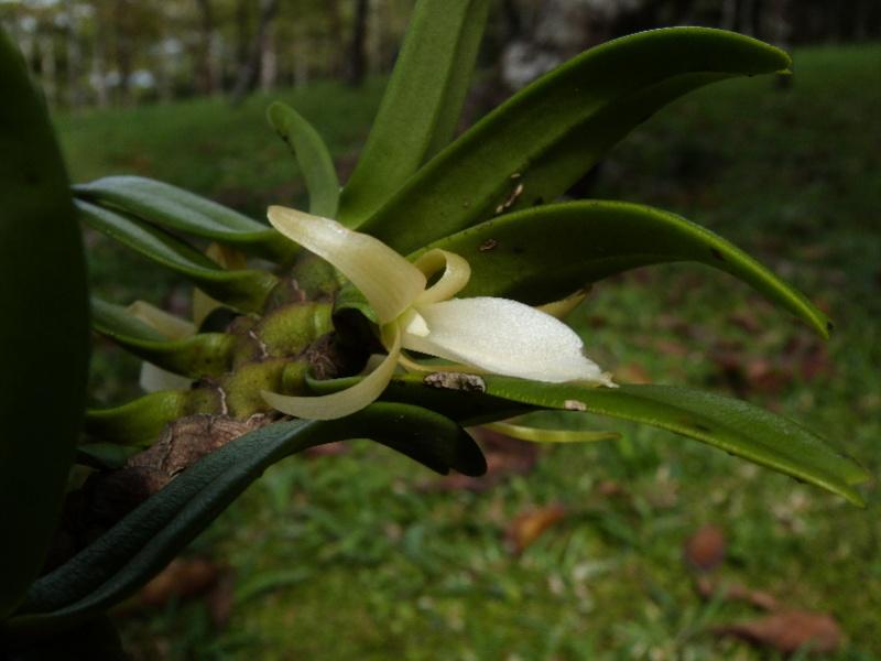 Liliodorum 2e 064110
