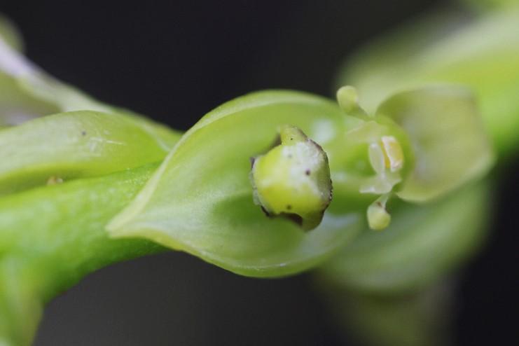 Spécial Bulbophyllum du mois 18110