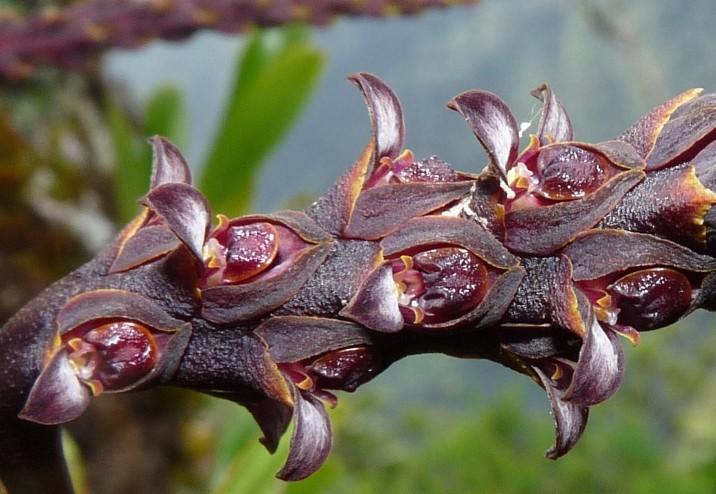 Spécial Bulbophyllum du mois 19110
