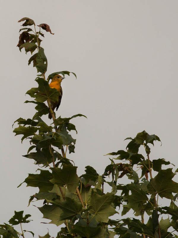 Oiseau du soir Img_6610