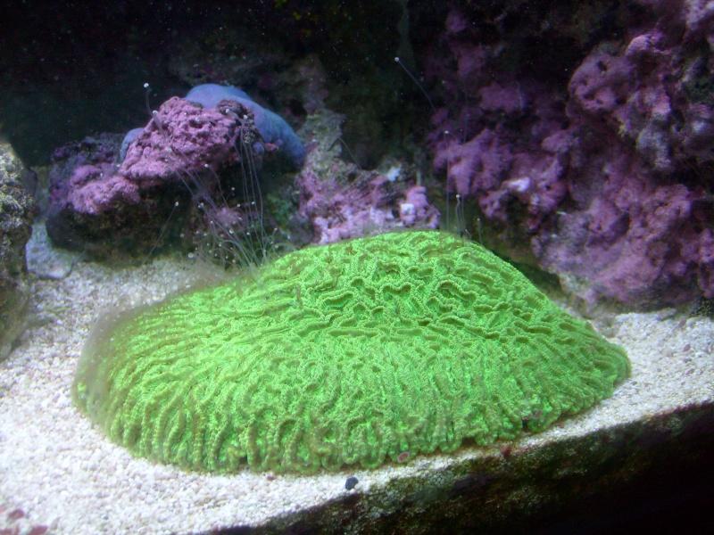 Brain coral ID page? Kelis_10