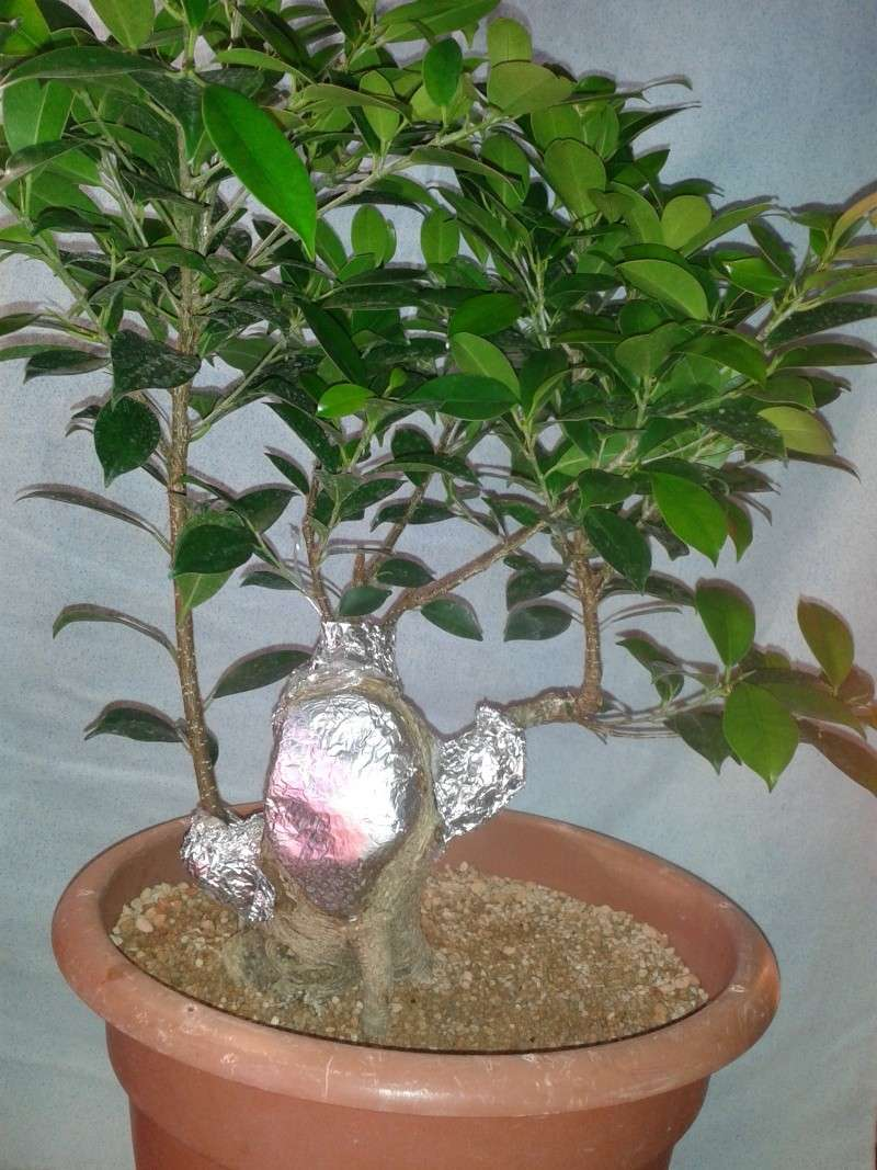 Ficus Microcarpa with huge uros and hollow trunk? 20140615