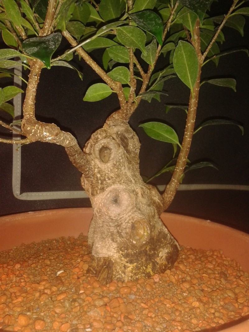 Ficus Microcarpa with huge uros and hollow trunk? 20140711