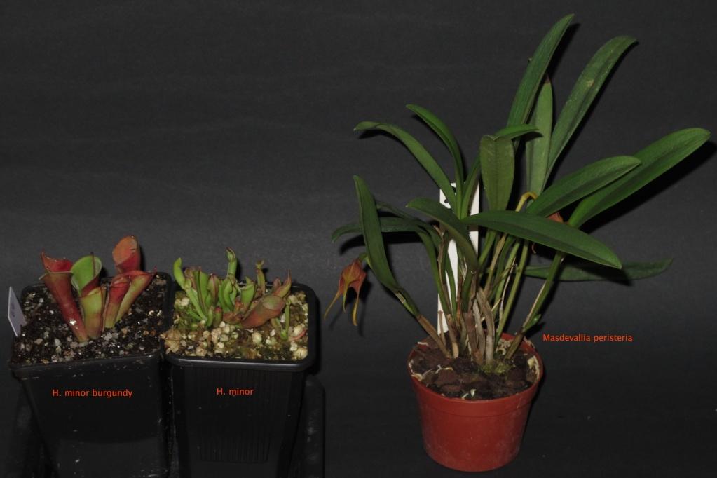 Pour échange: Nepenthes, Heli, Lecanopteris, orchidée Burgun10
