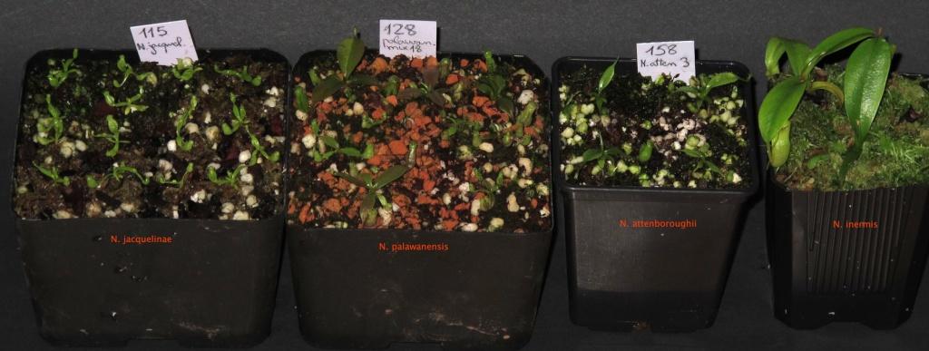 Pour échange: Nepenthes, Heli, Lecanopteris, orchidée Jacque10
