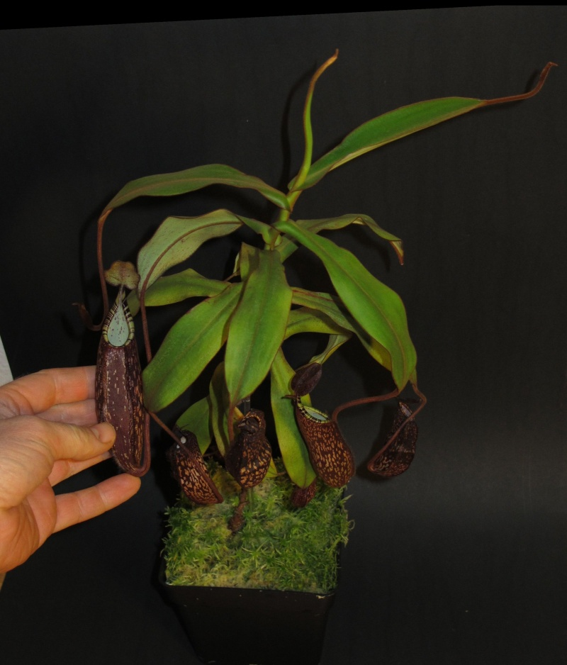 Vente Nepenthes spectabilis, maxima mini - VENDUES Specta10