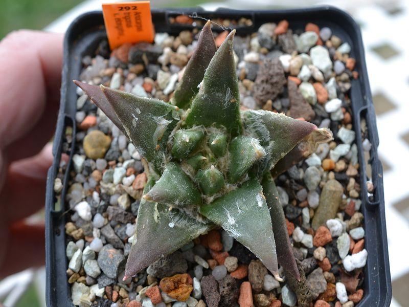 Ariocarpus trigonus var. elongatus Septem15