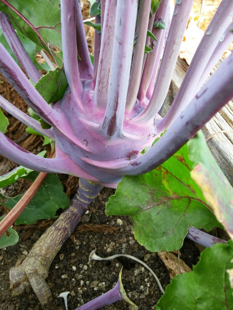 November: What's in Your Fall Garden? Kohlra10