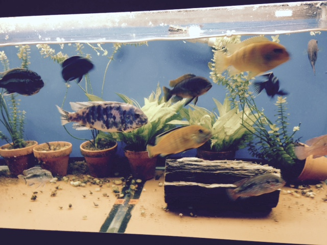 Free: Cichlids and a huge pleco free to a good home Fullsi10