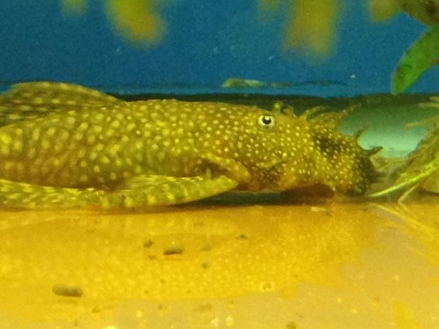 WTB: Female Gold Nugget Pleco Gnp11
