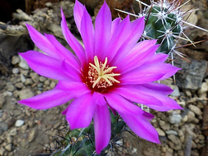 Echinocereus in Blüte und mehr - Seite 3 Echino11
