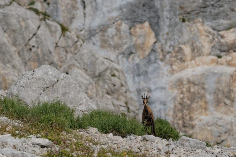 Triptyque vercusien (chamois-marmottes-bouquetins) 5a2a3510