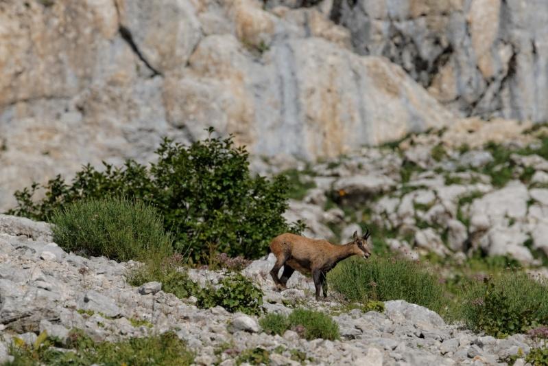 Triptyque vercusien (chamois-marmottes-bouquetins) 5a2a3610