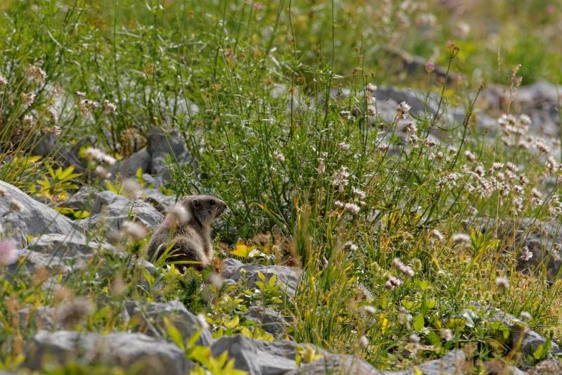 Triptyque vercusien (chamois-marmottes-bouquetins) 5a2a3611