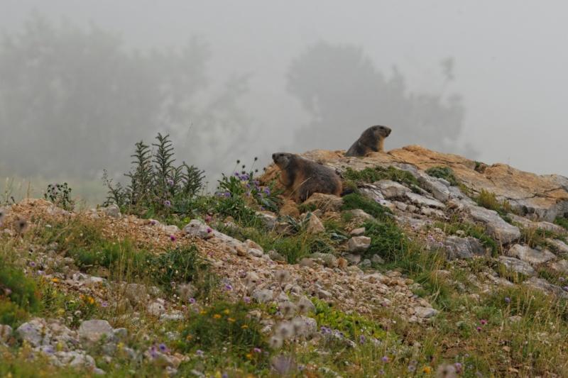 Triptyque vercusien (chamois-marmottes-bouquetins) 5a2a3612