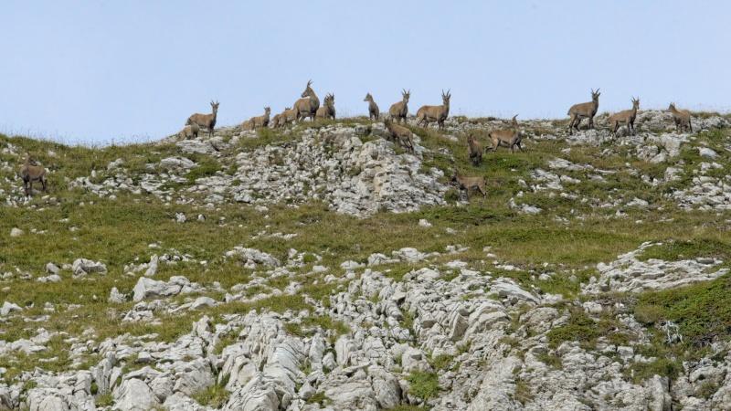 Triptyque vercusien (chamois-marmottes-bouquetins) 5a2a3614