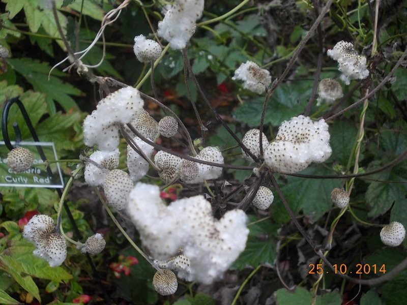 anemones du japon  - Page 3 Arbore14