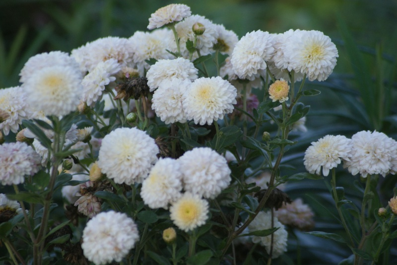 chrysanthèmes à gogo Dsc02310