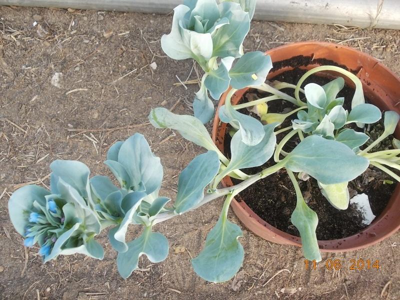QUI CONNAIT ? LA MERTENSIA MARITIMA (plante huitre) - Page 4 Dscn0116