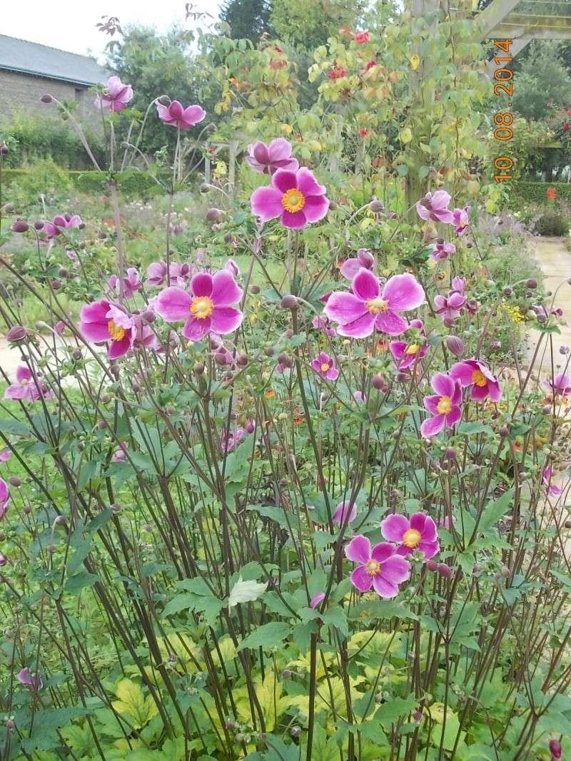 anemones du japon  - Page 2 Dscn1612