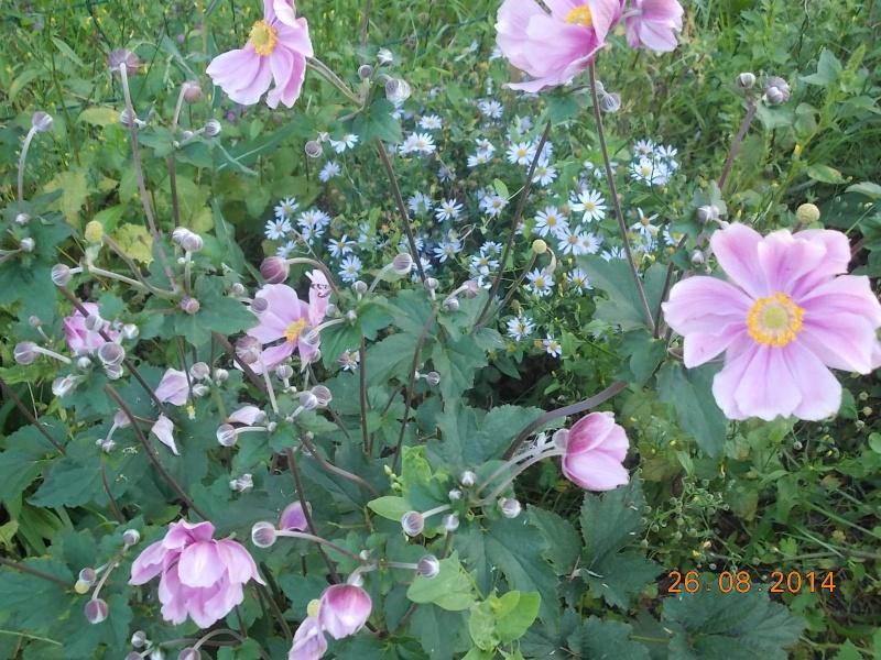 anemones du japon  - Page 3 Dscn2111
