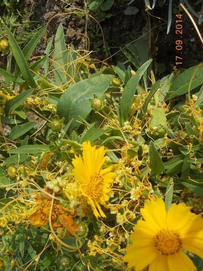 Quelle est cette chose qui envahit mes plantes ? Cuscuta campestris  Dscn2812