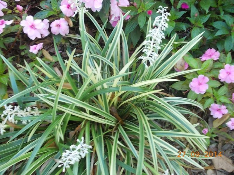 Ophiopogon  Dscn3016