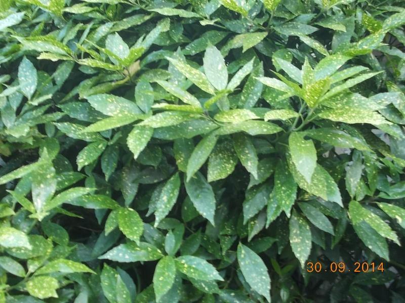 les arbustes persistants - Page 2 Dscn3121