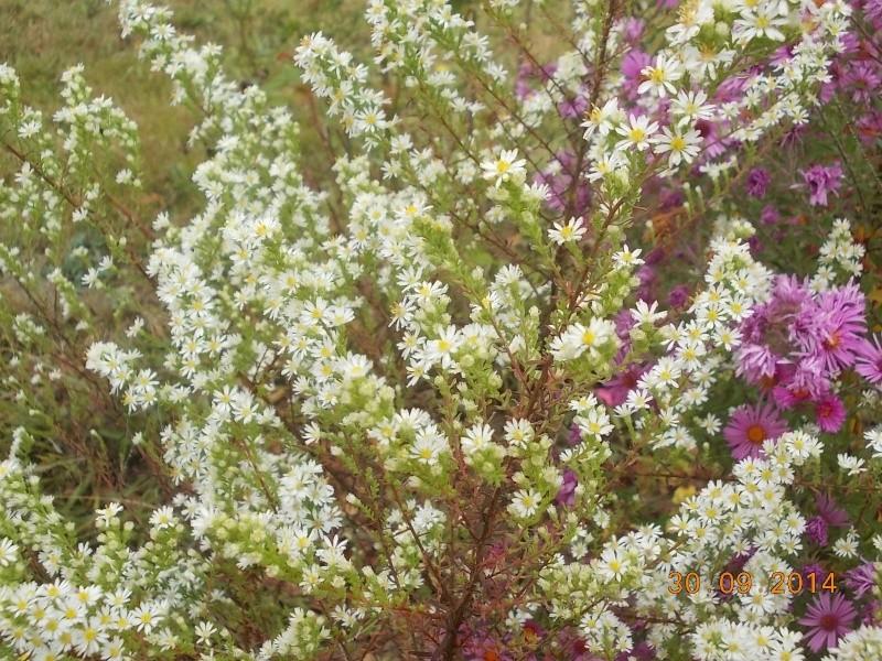 Aster : floraison 2014 - Page 2 Dscn3128