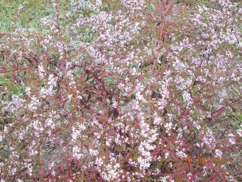 Aster : floraison 2014 - Page 2 Dscn3129